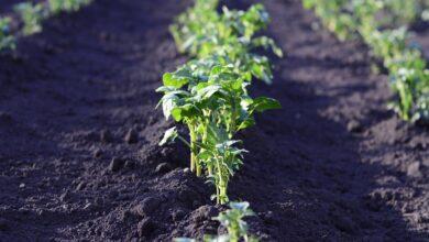 Photo of Kombajn do ziemniaków – przygotuj go do zbiorów